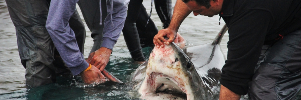 Death of great white another blow to SA's declining population